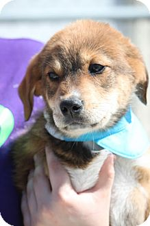 Shepherd (Unknown Type) Mix Puppy for adoption in Jewett City, Connecticut - Wade Fitzgerald-ADOPTED