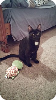 Domestic Shorthair Kitten for adoption in Oak Lawn, Illinois - Izzy