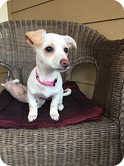 Terrier (Unknown Type, Small)/Chihuahua Mix Puppy for adoption in Lacey, Washington - Lola