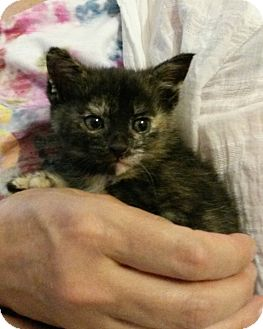 American Shorthair Kitten for adoption in Rochester, New York - Endora