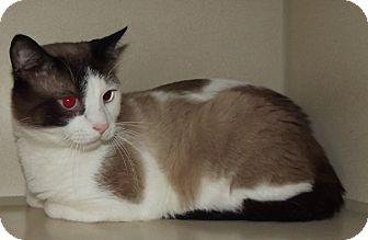 Domestic Shorthair Cat for adoption in Cheboygan, Michigan - Snake