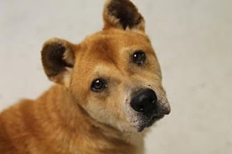 Shiba Inu/Chow Chow Mix Dog for adoption in Savannah, Tennessee - Niko