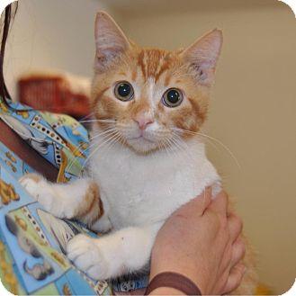 Domestic Shorthair Cat for adoption in Sunrise Beach, Missouri - Ryder