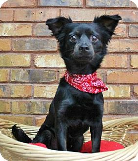 Chihuahua Mix Dog for adoption in Benbrook, Texas - Mickey