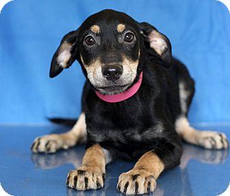Doberman Pinscher Mix Puppy for adoption in Waldorf, Maryland - Ice