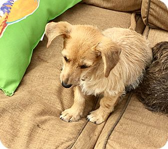 Cairn Terrier/Dachshund Mix Puppy for adoption in Brattleboro, Vermont - DAISY