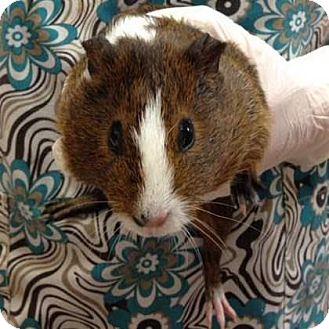 Guinea Pig for adoption in Lowell, Massachusetts - Salt