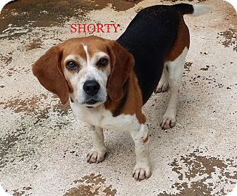 Beagle Dog for adoption in Ventnor City, New Jersey - SHORTY
