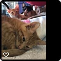 Adopt A Pet :: Squash - Fallbrook, CA