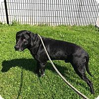 Adopt A Pet :: Dozer - Purcellville, VA