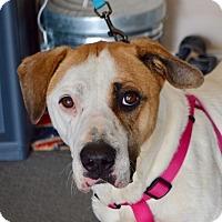 Adopt A Pet :: Angel - Allen town, PA