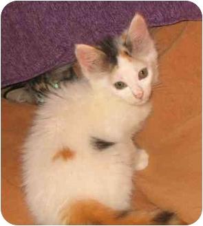 Calico Kitten for adoption in Seattle c/o Kingston 98346/ Washington State, Washington - Flora