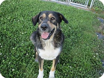 German Shepherd Dog/Great Pyrenees Mix Dog for adoption in Liberty Center, Ohio - Kayla