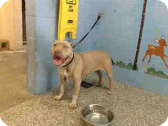 Pit Bull Terrier Mix Dog for adoption in San Bernardino, California - URGENT ON 8/2  San Bernardino