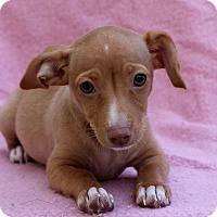 Adopt A Pet :: Dillie - Los Angeles, CA