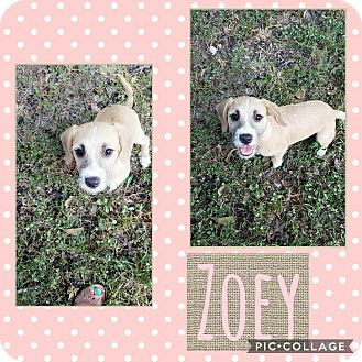Terrier (Unknown Type, Small) Mix Puppy for adoption in Hartford, Connecticut - Zoe