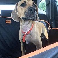 Adopt A Pet :: Jax Allen - Springfield, MO