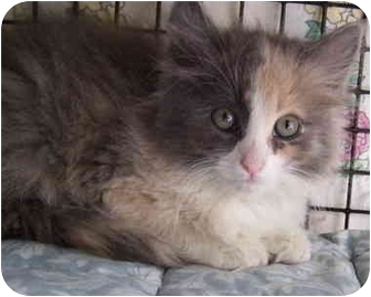 Domestic Longhair Kitten for adoption in Bloomingdale, New Jersey - Pippin