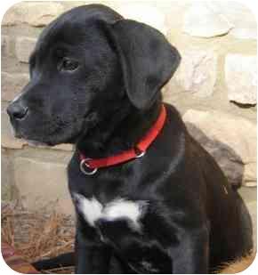 Labrador Retriever Mix Puppy for adoption in Wake Forest, North Carolina - Pearl