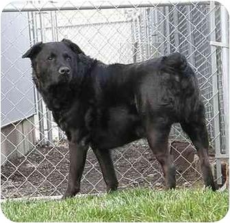 Labrador Retriever Mix Dog for adoption in Meridian, Idaho - Gus
