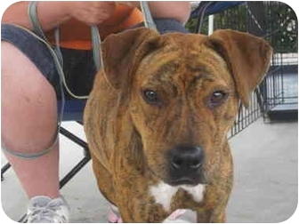 American Staffordshire Terrier/Pit Bull Terrier Mix Dog for adoption in Los Angeles, California - Peggy