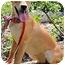 Photo 2 - Nova Scotia Duck-Tolling Retriever/Labrador Retriever Mix Dog for adoption in Pawling, New York - HEATHER