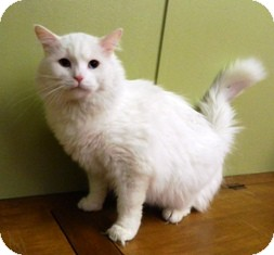 Domestic Longhair Cat for adoption in Columbus, Nebraska - Stevie