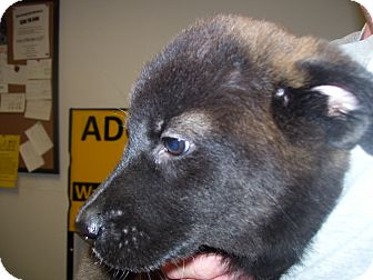 Akita Mix Puppy for adoption in Cranford, New Jersey - Lucy