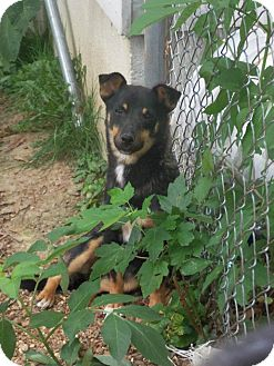 Miniature Pinscher/Terrier (Unknown Type, Small) Mix Dog for adoption in berwick, Maine - Jaydan