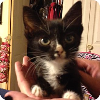 Domestic Shorthair Kitten for adoption in Weatherford, Texas - Penny