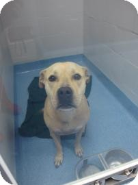 Pit Bull Terrier Mix Dog for adoption in Gainesville, Florida - Diamond