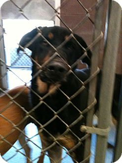 Rottweiler Mix Dog for adoption in Yuba City, California - 01/19 Ben