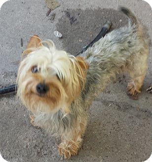 Yorkie, Yorkshire Terrier Mix Dog for adoption in Houston, Texas - ZEKE