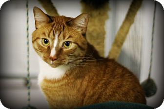Domestic Shorthair Cat for adoption in Mission, British Columbia - Tiny
