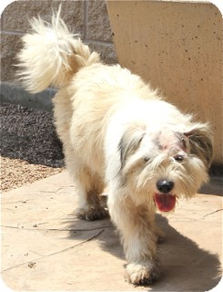 Tibetan Terrier/Old English Sheepdog Mix Dog for adoption in Norwalk, Connecticut - Brady