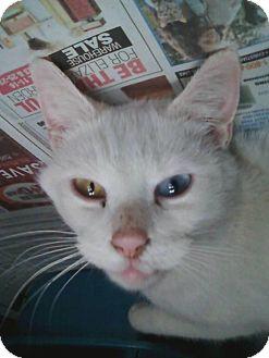 Domestic Shorthair Cat for adoption in MARION, Virginia - White Female Cat