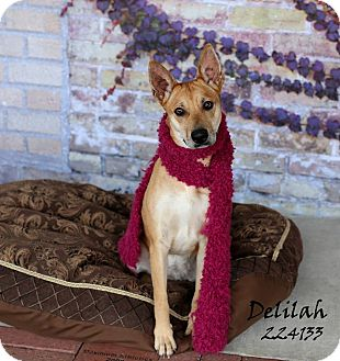 Carolina Dog Mix Dog for adoption in Cranston, Rhode Island - Delilah (located in TX)