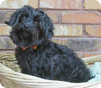 Poodle (Miniature)/Schnauzer (Miniature) Mix Dog for adoption in Benbrook, Texas - Sugar