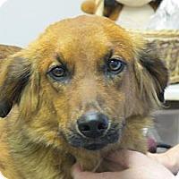 Adopt A Pet :: Autumn - Windham, NH