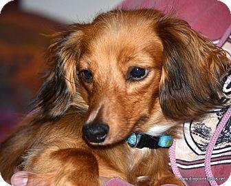 Dachshund/Chihuahua Mix Dog for adoption in Spokane, Washington - Cocoa, possible home