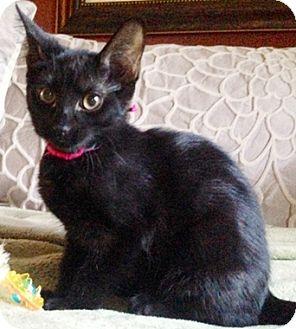Domestic Shorthair Kitten for adoption in North Highlands, California - Damon