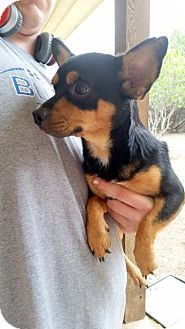 Miniature Pinscher/Chihuahua Mix Dog for adoption in Weatherford, Texas - *Devin*