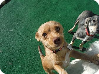Dachshund/Wirehaired Fox Terrier Mix Puppy for adoption in Atascadero, California - Hansel @ Petsmart SLO Sat.