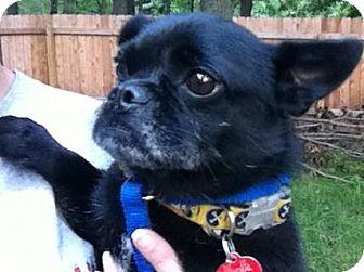 Pug/Pomeranian Mix Dog for adoption in Indianapolis, Indiana - Bolt