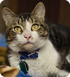 Domestic Shorthair Cat for adoption in Port Washington, New York - Barry Catalow