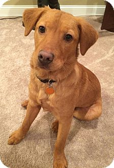 Golden Retriever Mix Dog for adoption in Plainfield, Connecticut - Abel