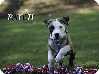 Boxer/American Bulldog Mix Puppy for adoption in Alpharetta, Georgia - Patch
