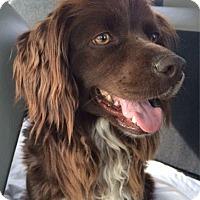 Adopt A Pet :: April - Sugarland, TX