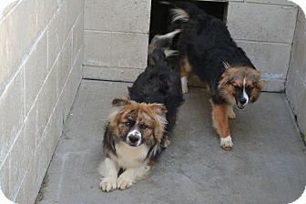 Sheltie, Shetland Sheepdog/Pomeranian Mix Dog for adoption in Freedom, Pennsylvania - Lulu