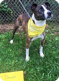 Hound (Unknown Type)/Terrier (Unknown Type, Medium) Mix Dog for adoption in Flint, Michigan - Diamond  #5111